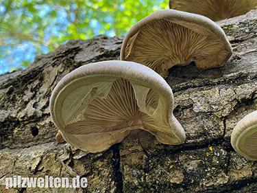 Beschleierter Pappel-Seitling, Espen-Seitling, Pleurotus calyptratus, Lentodiopsis calyptrata, Tectella calyptrata, Dendrosarcus calyptratus, Agaricus calyptratus