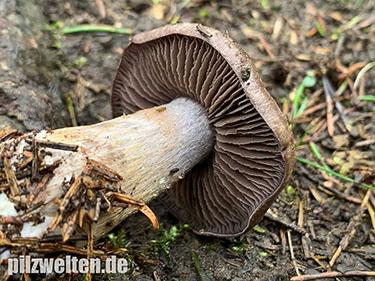 Bitterer Schleimkopf, Cortinarius infractus, Cortinarius amarocaerulescens, Phlegmacium infractum, Pholiota infracta