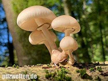 Buchenschleimrübling, Beringter Schleimrübling, Oudemansiella mucida, Mucidula mucida, Agaricus mucidus