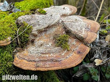 Eichenwirrling, Eichentramete, Eichenblättling, Daedalea quercina