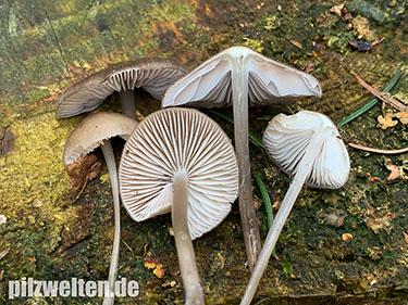 Fichtenzapfenhelmling, Zapfenhelmling, Mycena strobilicola, Mycena plumipes, Mycena majalis
