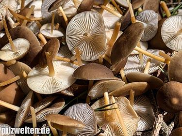Fichtenzapfenrübling, Zapfenrübling, Fichtenzapfenschwamm, Strobilurus esculentus, Pseudohiatula esculenta, Marasmius conigenus esculentus