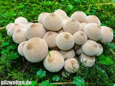 Flaschenbovist, Flaschenstäubling, Staubdeiberl, Lycoperdon Perlatum, Lycoperdon Gemmatum