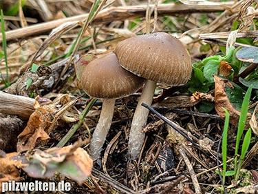 Früher Faserling, Früher Mürbling, Schmalblättriger Faserling, Waldackerling, Psathyrella spadiceogrisea