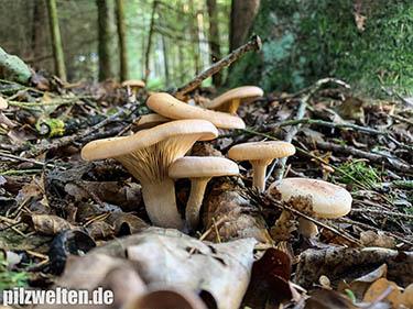 Fuchsiger Trichterling, Fuchsiger Röteltrichterling, Fuchsiger Rötelritterling, Paralepista flaccida, Lepista flaccida, Clitocybe flaccida, Agaricus flaccidus