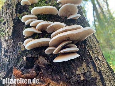 Gallertfleischiges Stummelfüßchen, Crepidotus mollis, Crepidopus mollis, Crepidotus ralfsii
