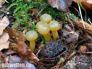 Gallertkäppchen, Grüngelbes Gallertkäppchen, Gallatkäppchen, Leotia lubrica, Leotia portentosa, Leotia viscosa