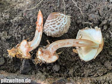 Garten-Safranschirmling, Gerandetknolliger Safranschirmling, Garten-Riesenschirmling, Rötender Gartenschirmpilz, Chlorophyllum brunneum