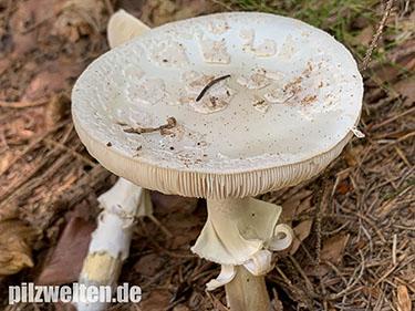 Gelber Knollenblätterpilz (weiße Form), Amanita citrina var. alba, Amanita venenosa var. alba, Amanita mappa var. alba,