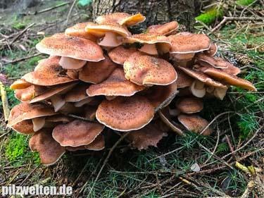 Gemeiner Hallimasch, Nadelholzhallimasch, Dunkler Hallimasch, Armillaria Solidipes
