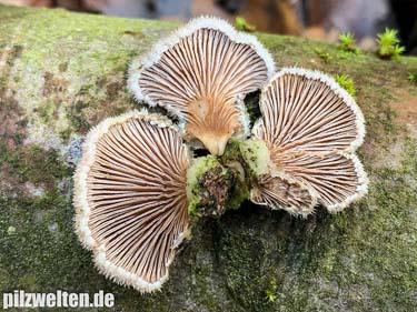Gemeiner Spaltblättling, Schizophyllum commune