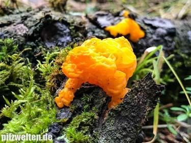 Goldgelber Zitterling, Großer Laubholzzitterling, Tremella mesenterica, Tremella lutescens, Hormomyces aurantiacus