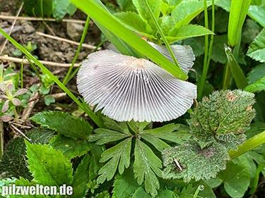 Hasentintling, Hasenpfote, Coprinopsis lagopus