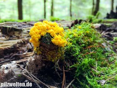 Hexenbutter, Gelbe Lohblüte, Fuligo septica