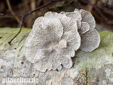 Krauser Adernzähling, Buchenaderzähling, Plicatura crispa, Plicaturopsis crispa, Cantharellus crispus, Merulius crispus, Merulius fagineus, Trogia crispa, Trombetta crispa