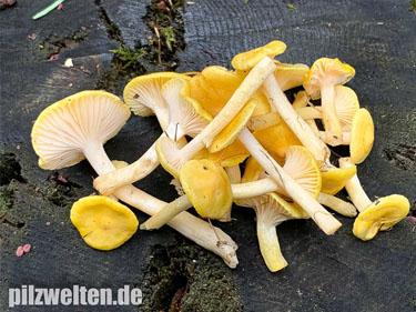 Gelber Lärchenschneckling, Lärchenschneckling, Hygrophorus lucorum, Limacium lucorum, Tricholoma luteocitrinum