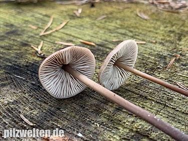 Langstieliger Knoblauchschwindling, Saitenstieliger Knoblauchschwindling, Mycetinis alliaceus, Marasmius alliaceus, Agaricus alliaceus