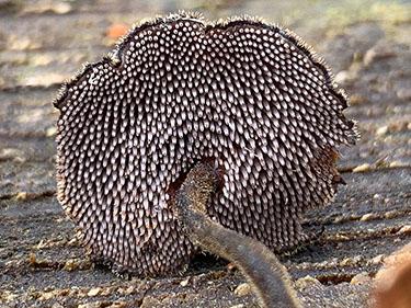 Ohrlöffelstacheling, Ohrförmiger Stacheling, Auriscalpium vulgare, Plurodon auriscalpium