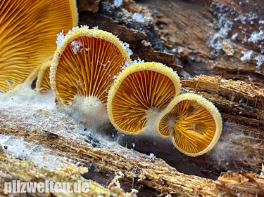 Orangeseitling, Phyllotopsis nidulans, Panus nidulans, Pocillaria stevensonii, Dendrosarcus nidulans