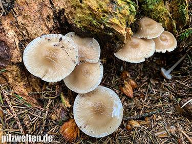 Rosablättriger Helmling, Mycena galericulata, Prunulus galericulatus, Agaricus galericulatus, Stereopodium galericulatum