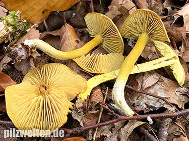 Gemeiner Schwefelritterling, Schwefelritterling, Tricholoma sulphureum, Agaricus sulphureus, Gymnopus sulphureus, Gyrophila sulphurea