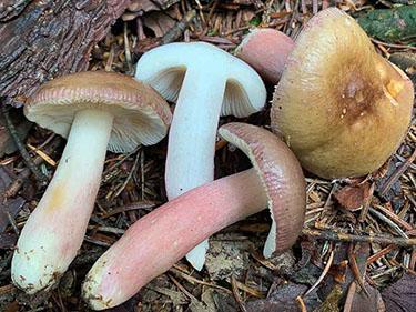 Stachelbeertäubling, Russula queletii, Russula flavovirens, Russula sardonia f. queletii, Russula drimeia var. queletii