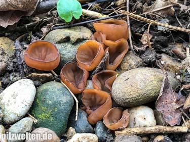 Anemonenbecherling, Sklerotienbecherling, Dumontinia tuberosa, Sclerotinia tuberosa