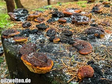 Fenchelporling, Fencheltramete, Gloeophyllum odoratum