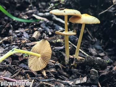 Goldmistpilz, Bolbitius vitellinus, Bolbitius titubans