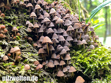 Zwergmürbling, Zwergfaserling, Blassbrauner Zwergfaserling, Psathyrella pygmaea, Psathyrella consimilis